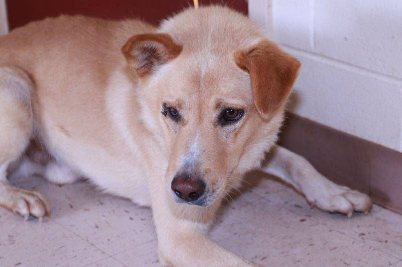 Not sure if still alive - please keep sharing George 8/12-1918 Shepherd mixed male, very sweet and gentle, injured/blind eye. He is nervous moving with his lack of vision. — with Stephanie Latham-Magee at Henry County, Georgia Animal Care and Control.