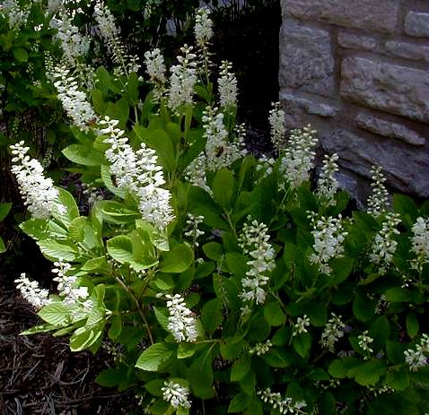 Clethra Alnifolia Dwarf Summersweet Grows To 2 Tall And Wide In Sun Full Shade It Is Hardy Zone Deer Resistant Wet Site Salt Tolerant