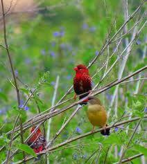 طائر الفراوله فينش strawberry finch