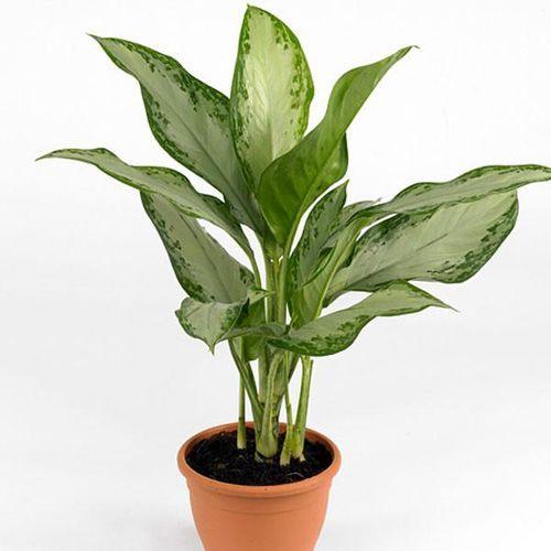 Chinese Evergreen (Aglaonema Commutatum)