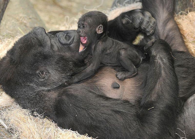 Pin By Shira H On Adorable Animals Newborn Animals Baby Gorillas Baby Animals