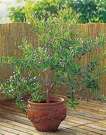 Dwarf Olive Trees Google Search