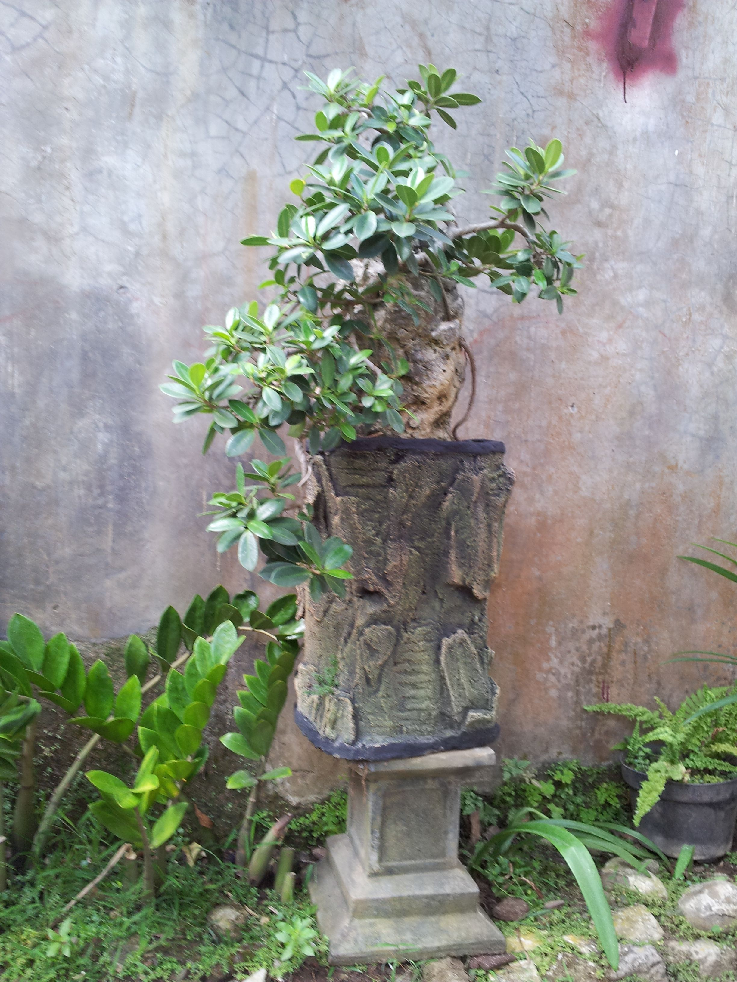 Jade Ficus Cascade Style  And Yet Still In Progress
