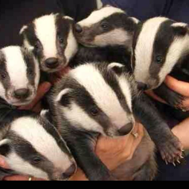 Baby badgers.  They are super cuddly and all, but aren't these the kind of badgers that don't give a shit?