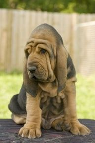bloodhound puppy. Don't get any better than this! Sweetest face ever!!!