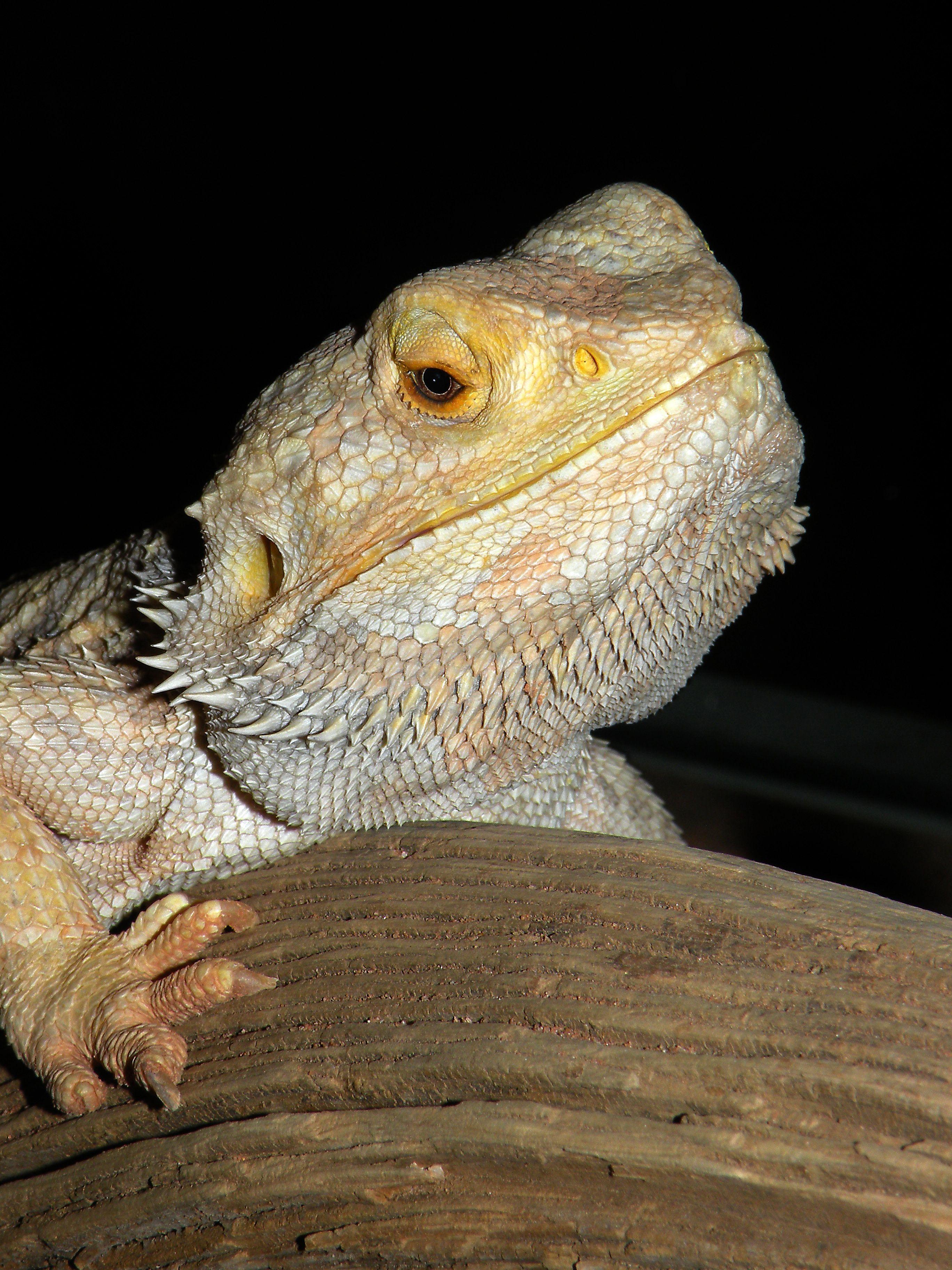 Bearded dragon bearded dragon tips pinterest dragons love and