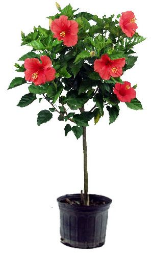 The Secrets To Growing Hibiscus Indoors With Images Hibiscus