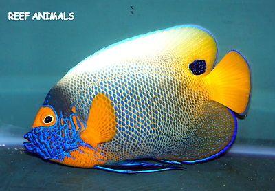 Blueface Angel 5 Pomacanthus Xanthometopon Live Saltwater Fish Angelfish Animaux Aquatiques Poisson Animaux