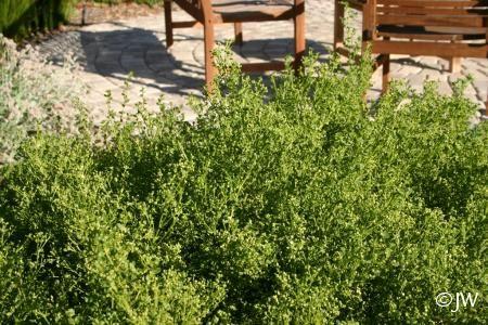 Baccharis pilularis 'Pigeon Point' | California Flora Nursery (Fire Resistant)