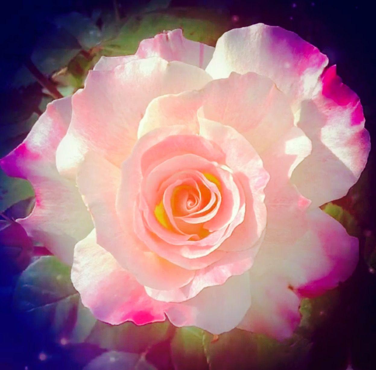 Pin By Sivaji Raju On R O S E S Wonderful Flowers Beautiful Flowers Beautiful Roses Fantastic rose flower wallpaper