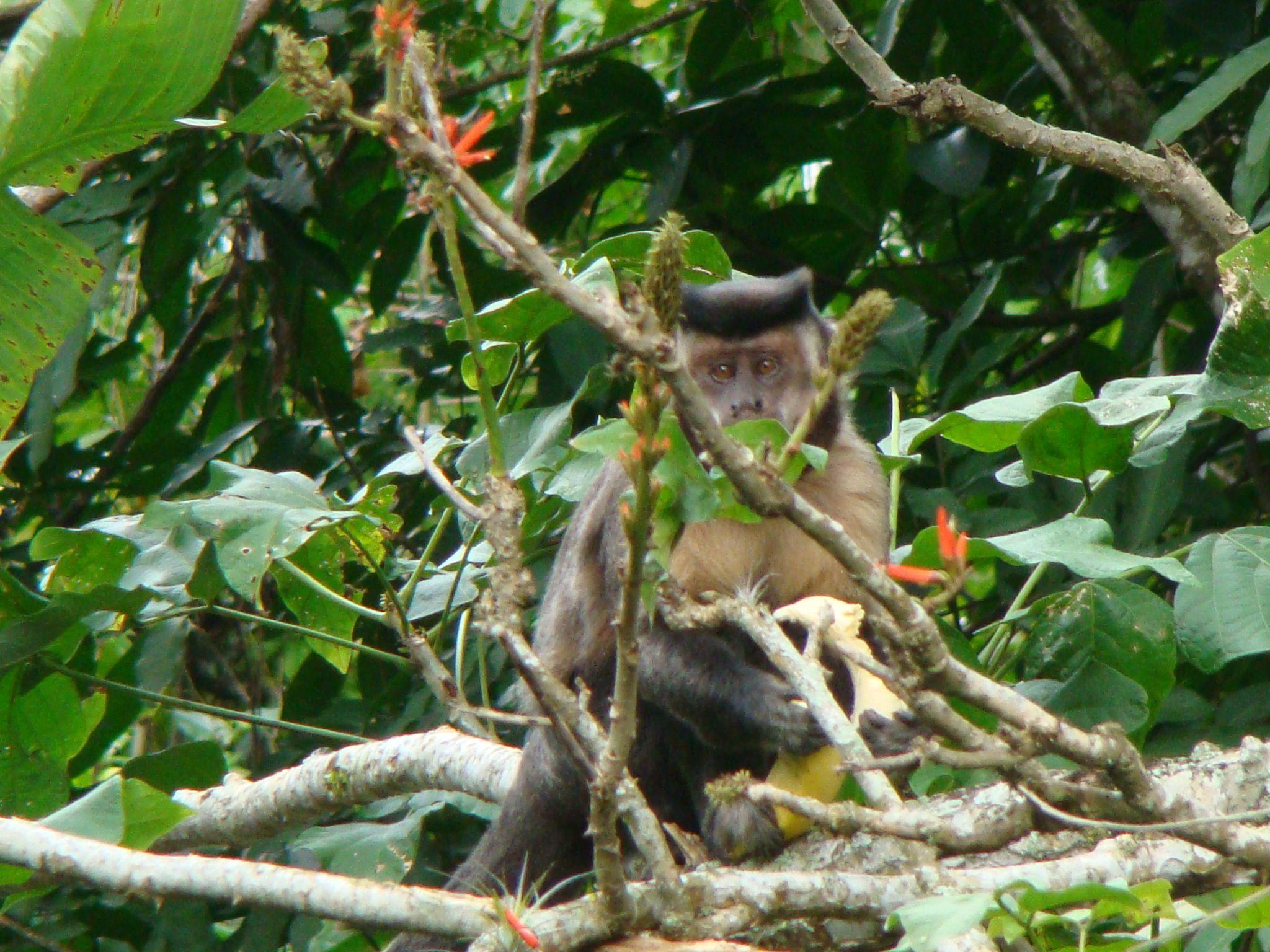 Macaco Prego  na mata ao pé da Pedra da Gávea São Conrado Rio de Janeiro