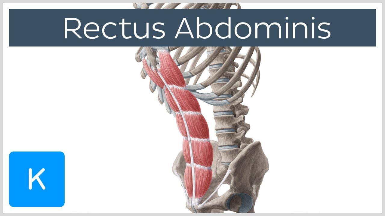 Rectus abdominis muscle - Origin, Insertion, Innervation, Function ...