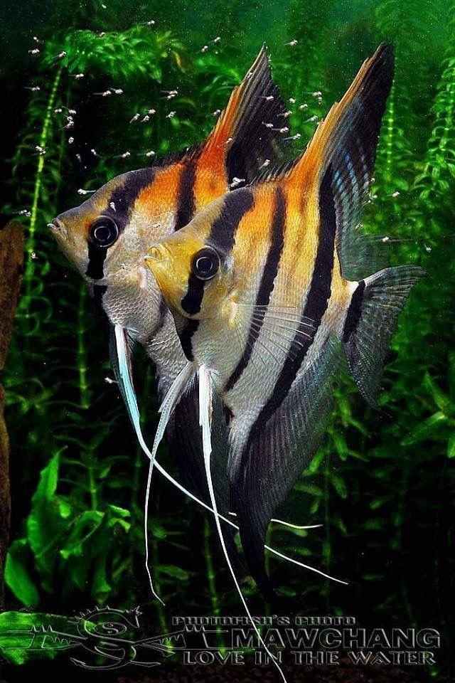 Pin by nar 39 e stoudemire on beautiful fish pinterest - Poisson shark aquarium ...