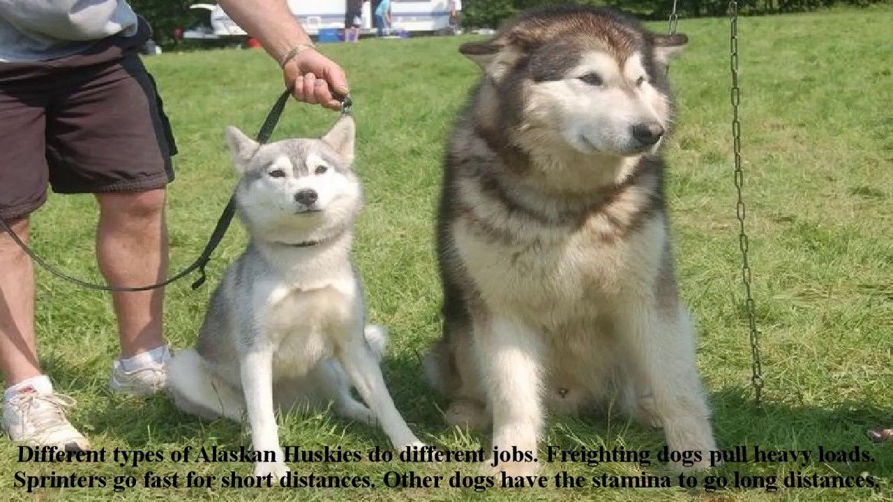 Alaskan Huskies Puppies Dog Information Training Husky Dog Puppies
