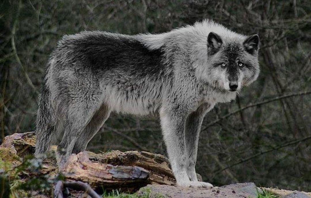 ᵐʸ ᵗʳⁱᵖˡᵉᵗ ᵃˡᵖʰᵃ ᵐᵃᵗᵉˢ Maknae Line X Reader Wolves In 2020 Wolf Dog Wolf Photos Wolf Love