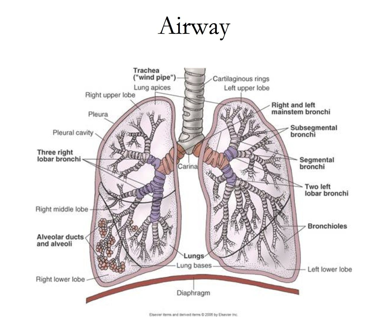 Respiratory system diagram histology respiratory pinterest respiratory system diagram ccuart Choice Image