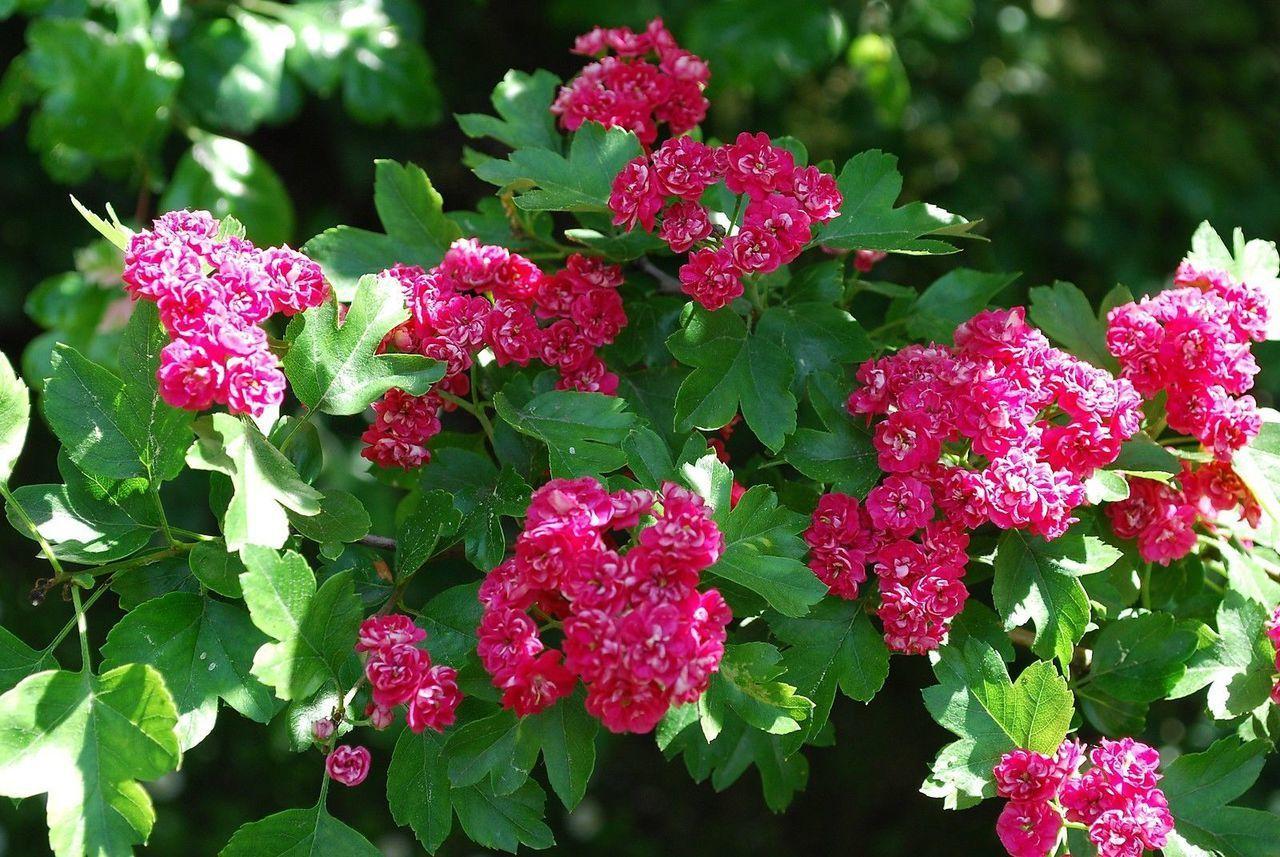 Crataegus Laevigata Rosea 4-5ft In 5L Pot Midland Hawthorn /'Paul/'s Scarlet/'