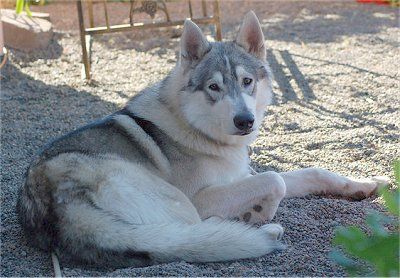 A Cross Between A Timber Wolf And An Alaskan Malamute Wolf