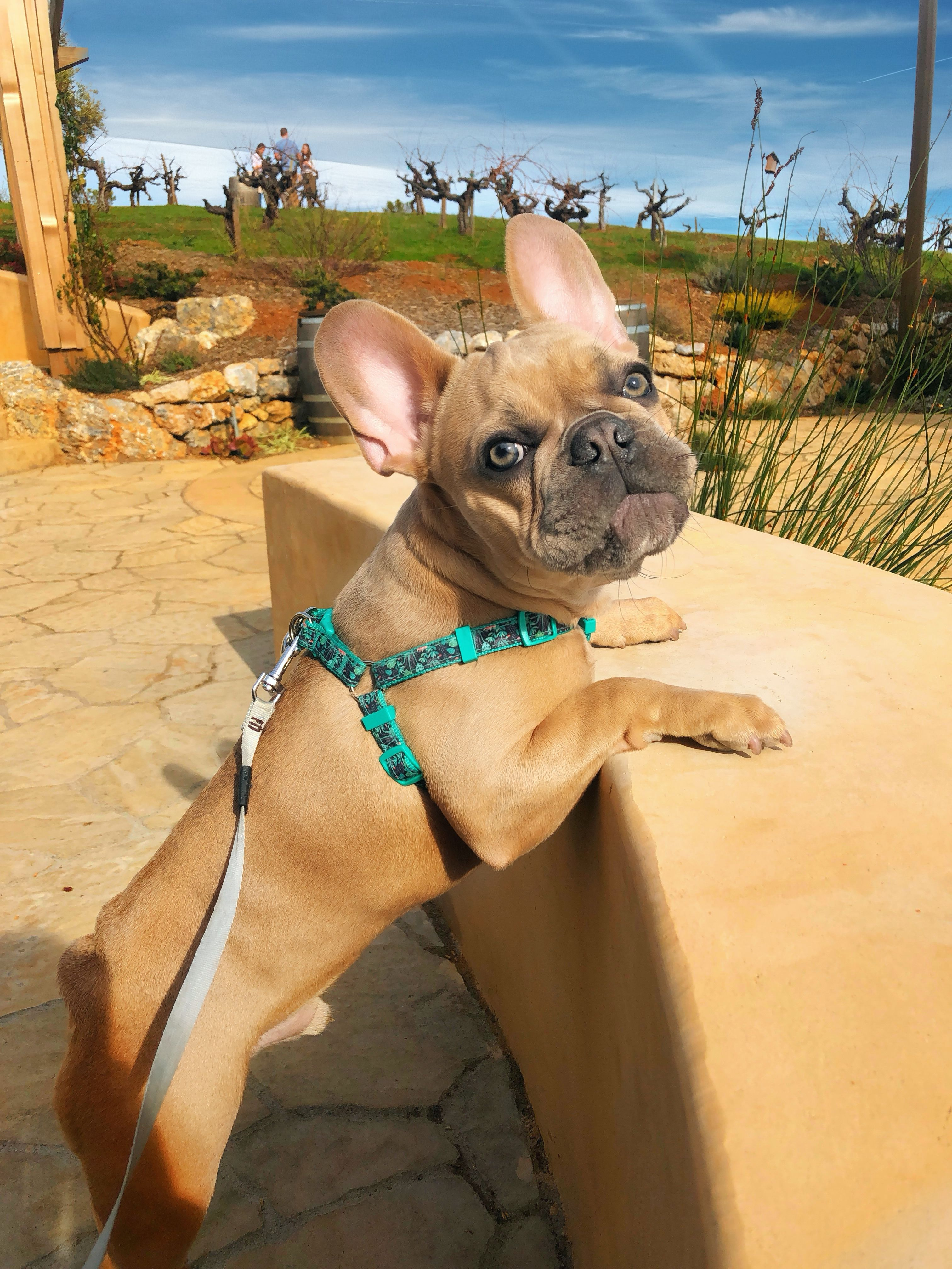 Pin By Mark Quirk On Dogs French Bulldog Puppies Bulldog