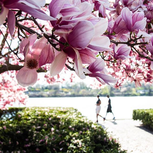 #whyilovephilly More springtime blooms | @unquestionable_mary caught this amazing photo of the Magnolia Trees right by the @philamuseum