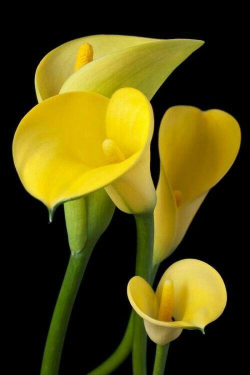 Tipi Di Fiori Gialli.Yellow Calla Lilies On Black Background Bellissimi Fiori