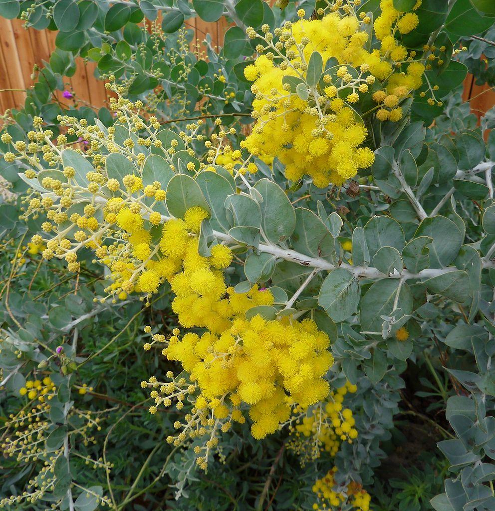 Acacia Podalyriifolia Xmas Bloom Australian Native Flowers Australian Native Garden Australian Native Plants