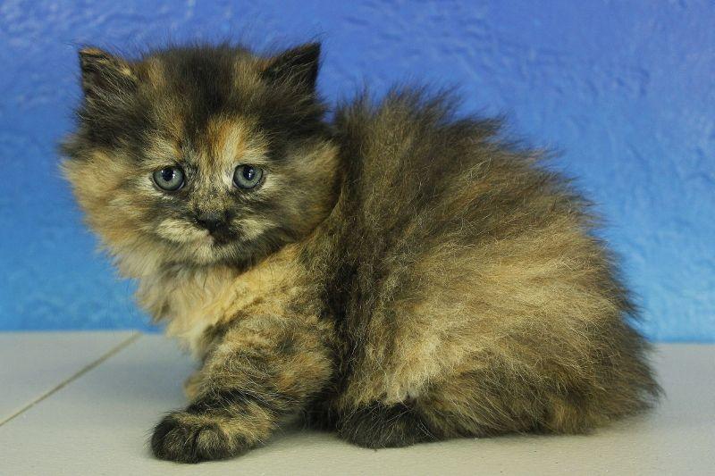 Gemma Black Calico Solid Ragdoll Cat Kitten From Www Ragdollkitten Us Cute Animals Ragdoll Kittens For Sale Ragdoll Cat