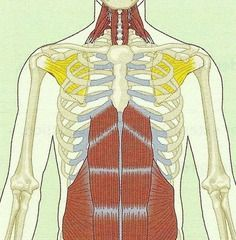 NASM Muscles (Origins and Insertions) Flashcards | Quizlet | Study