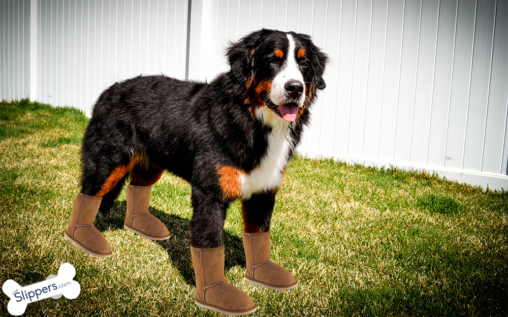 Bernese Mountain Dog Vs Ugg Boots Ugg Boots Uggs Mountain Dogs