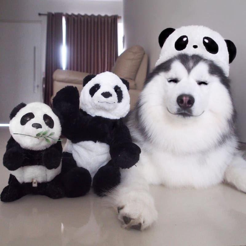 すごく幸せそうとネットで話題 天使のような笑顔をするハスキー ハスキー犬 かわいい動物の写真 可愛すぎる動物