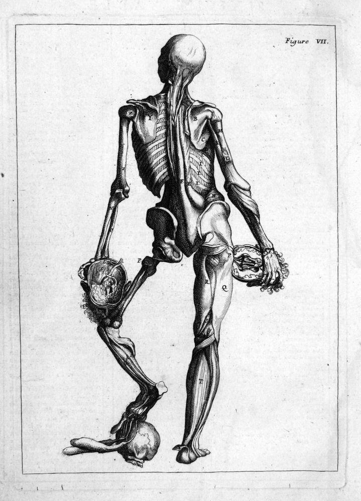 1760 Skelett skeleton Gehirn brain Anatomie anatomy Kupferstich ...