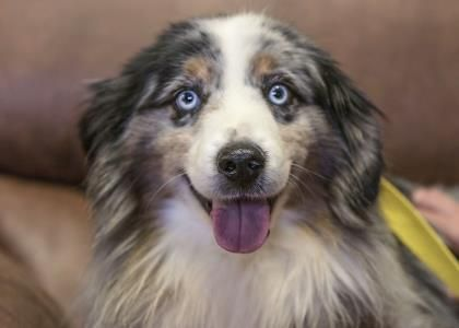 Adopt Wheeler A Lovely 7y 9m Australian Shepherd Miniature Available For Adoption At National Mill Dog Resc With Images Australian Shepherd Dogs Australian Shepherd Dogs