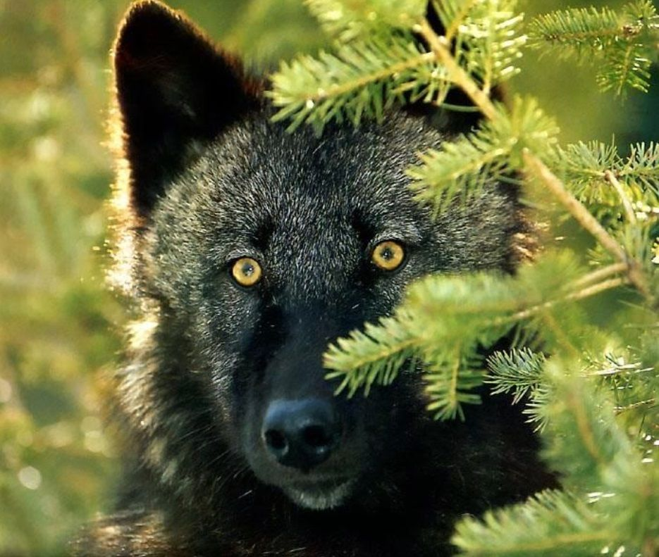 Открытки и фото волков, блестяшки картинки для