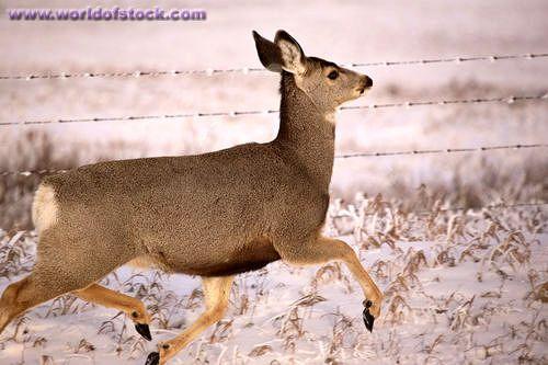 mule deer doe - | Mule deer | Pinterest | Mule deer