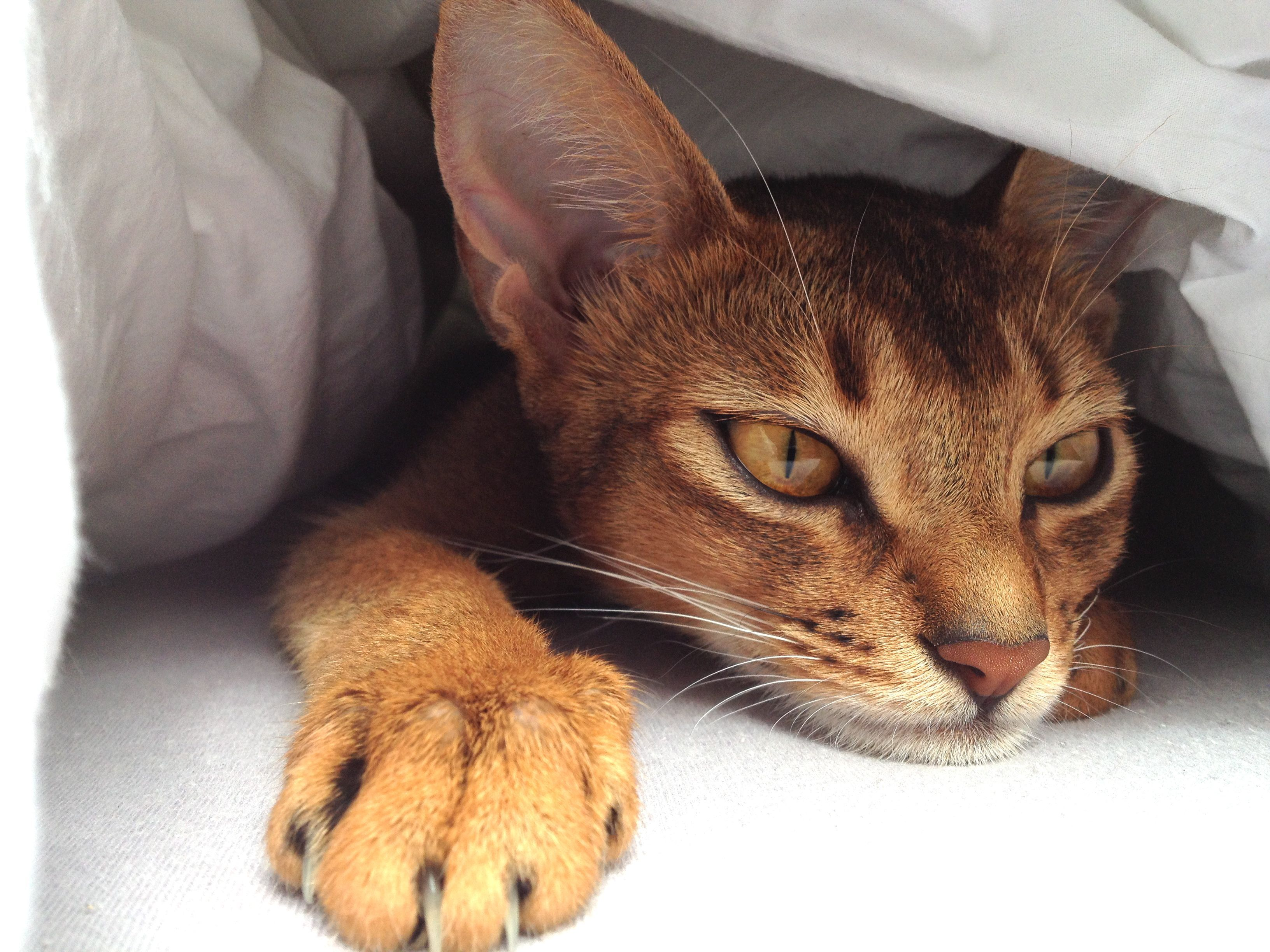 Abyssinian Cat - Sela | Feline Friends | Pinterest | Abyssinian ...
