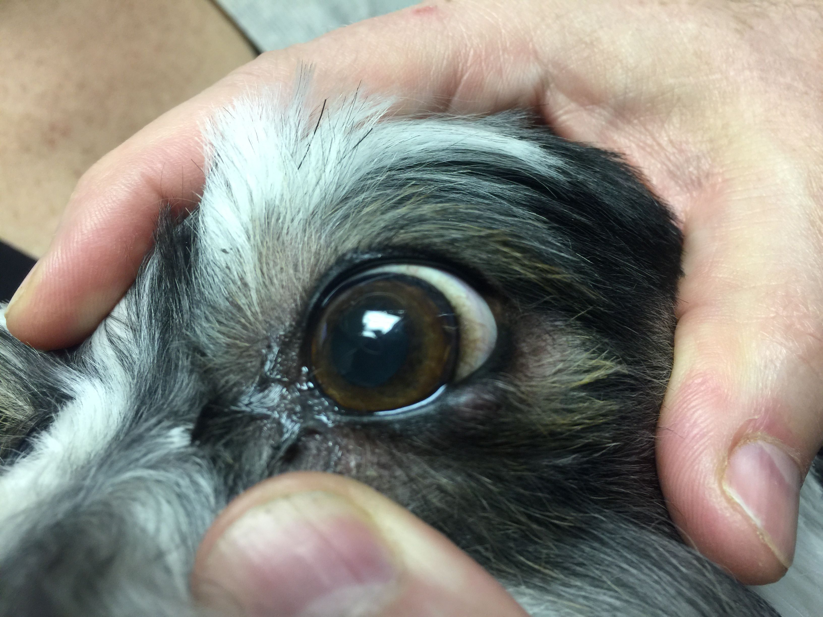 Meibomian Cyst In A Dog Cat Eye Problems Dog Cat Dogs