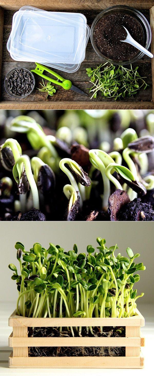 express o comment faire pousser de tournesol verts plantes pinterest tournesols comment. Black Bedroom Furniture Sets. Home Design Ideas