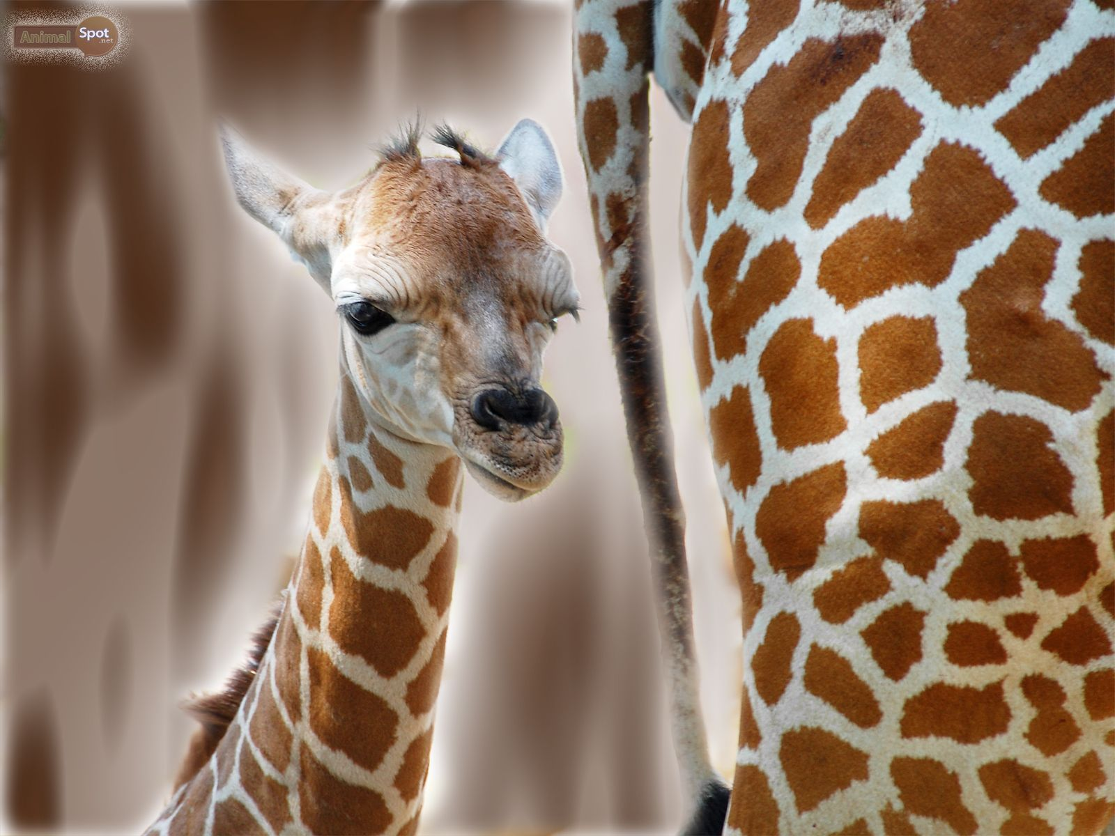 Portrait Of A Baby Giraffe Wallpapers Live