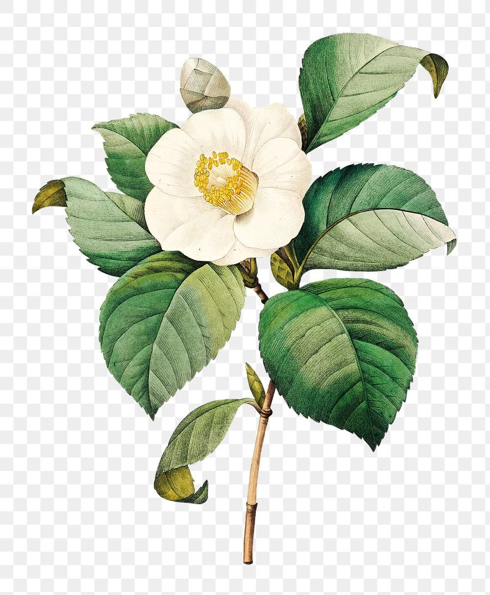 White Japanese Camellia Flower Sticker Design Element Free Image By Rawpixel Com In 2020 Free Watercolor Flowers Flower Painting Watercolor Flowers