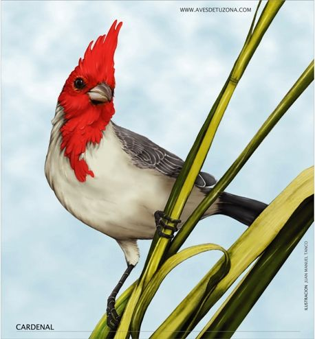 Cardenal Pajaros Cardenales Cardenales Aves Pinturas De Aves
