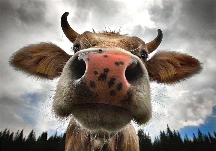 Корова картинки приколы