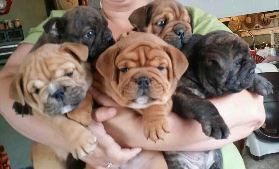 Brickhouse Bulldogs Va English Bulldog Puppies English Bulldog