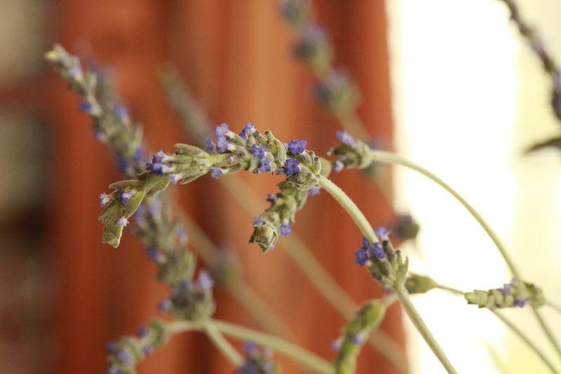 Rattlebridge Farms~ How to Make Lavender Water #lavender