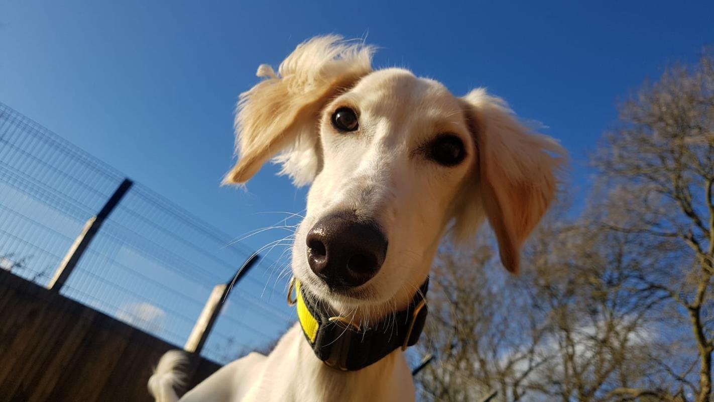 Adopt A Dog Merlin Saluki Dogs Trust Dog Adoption Dogs Saluki Dogs