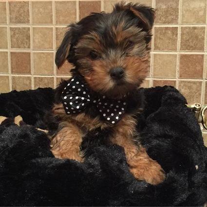 Puppy Love USA - Damon - Yorshire Terrier