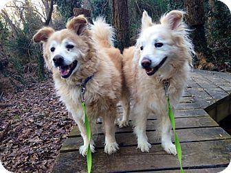 Richmond Va Collie Golden Retriever Mix Meet Frances A Dog For Adoption Pets Animals Kitten Adoption