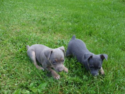 Free Rat Terrier Hoobly Quality Toy Rat Terrier Puppies Rat