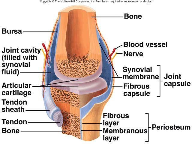 Synovial Joint Cephalicvein Needs Practice Pinterest
