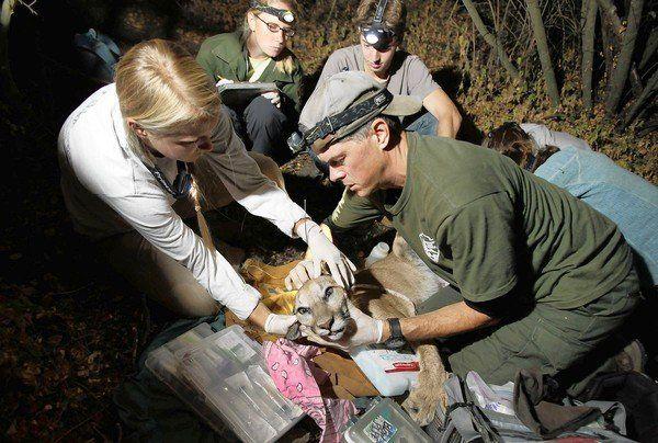 wildlife biologist jeff sikich knows how to get his mountain lion - Wildlife Biologist Job Description