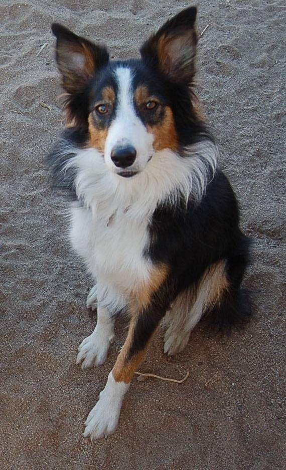 A Tri Colored Adult Border Collie A Member Of A Highly Energetic